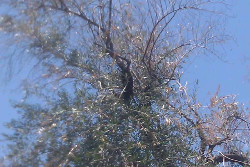 Bee Swarm in Tree too close to Structure