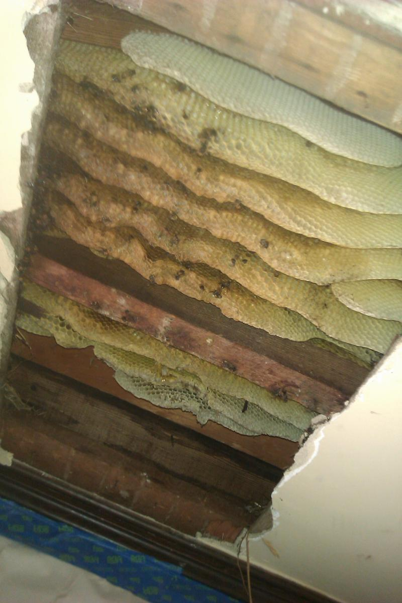 Honey Bee Hive Removal