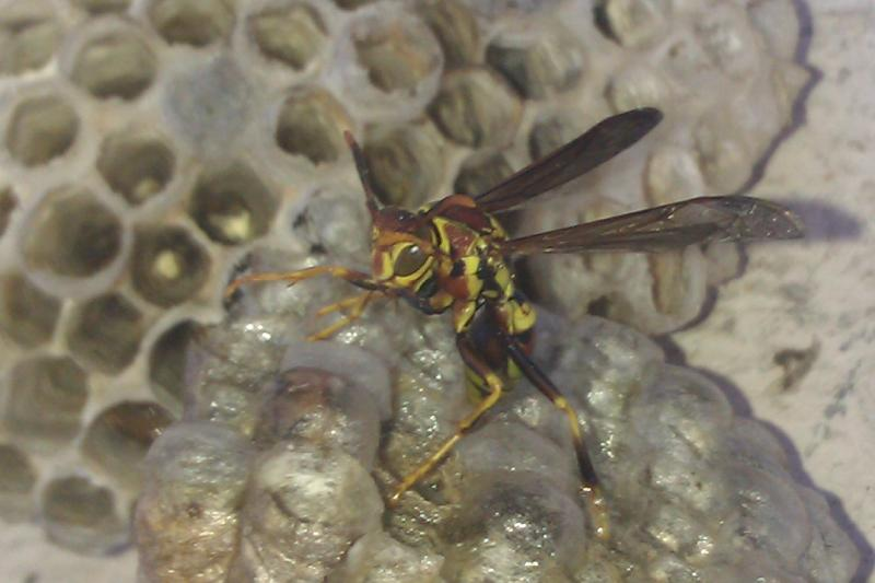 Wasp on Wasp nest- Something to Yelp about